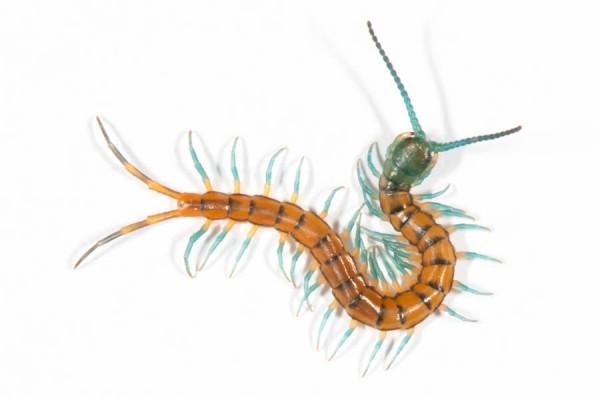 Tiny Baby Giant Centipede | Wildlife of St  Martin