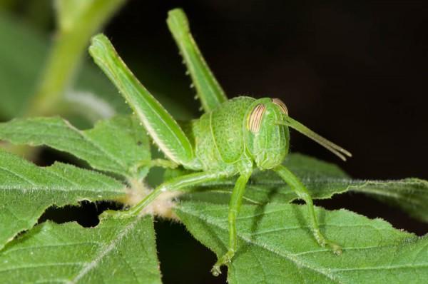 Green Grasshopper Nymph | Wildlife of St. Martin