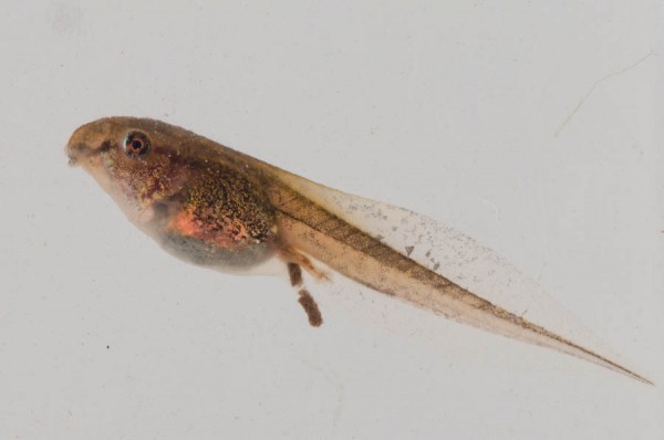 Tadpole In A Dry Land Wildlife Of St Martin